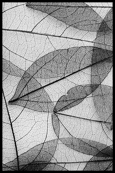 Black Leaves Botanical Poster