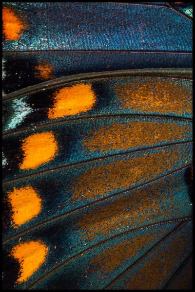Butterfly Wing N02 Poster