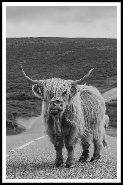 Highland Cattle N02 Poster