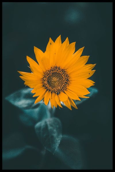 Misty Sunflower Poster