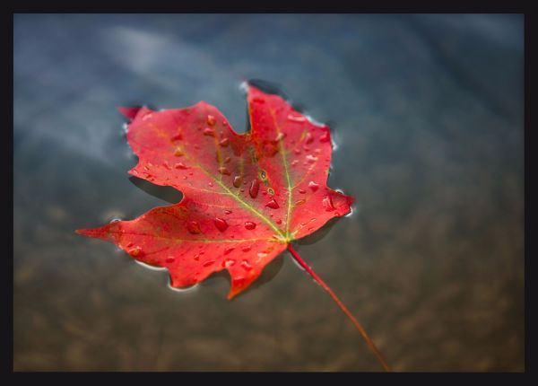 Red Maple Leaf in Water Poster