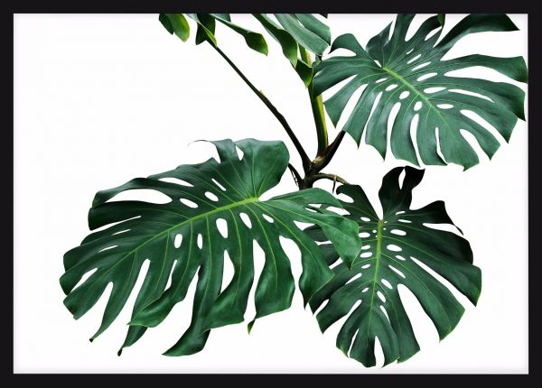 Leafs of Monstera Poster