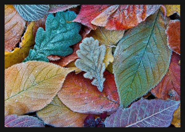 Autumn Frost Leafs Poster