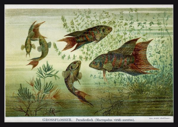 Fish Lithography 1895 Poster