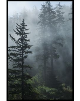 Fog in Evergreen Forest Poster