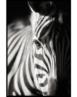 Zebra Portrait Nature Poster