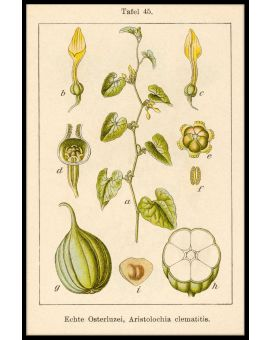 Antique Flower Illustration Birthwort Poster