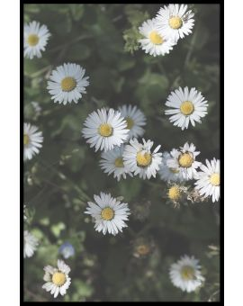 Croatia Flower Poster