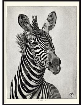 Zebra Portrait Illustration Poster