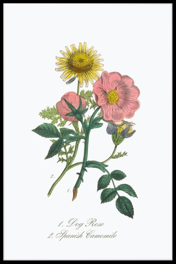 Victorian Botanical Illustration Poster