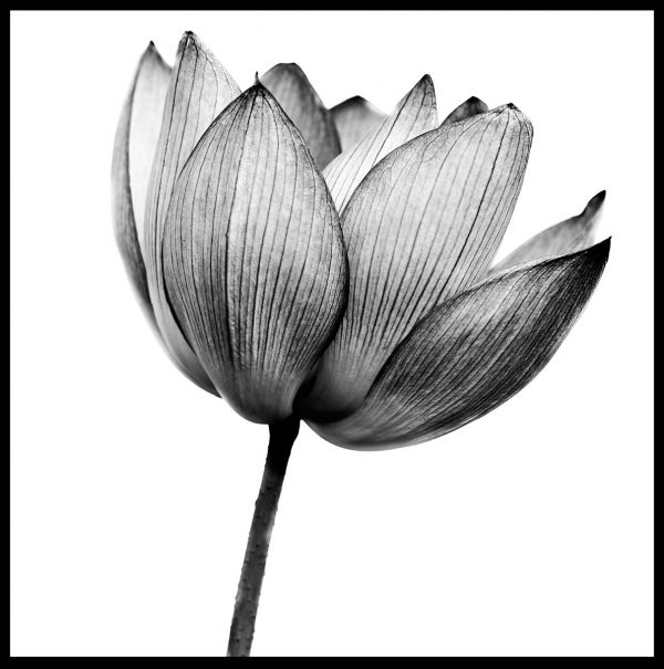 Lotus Black & White Poster