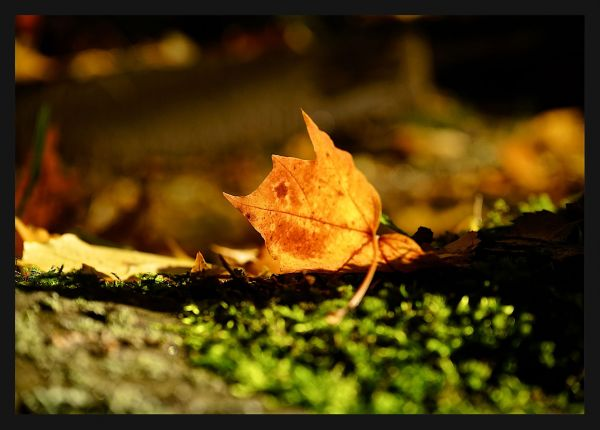 Fallen Leaf Autumn Poster