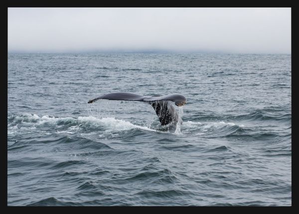 Humpback Whale Photo Poster