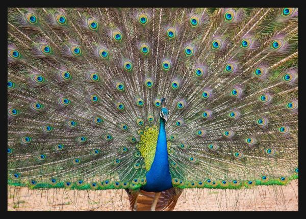 Peacock Nature Poster