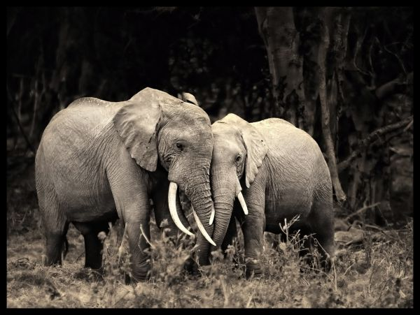 Elephant Love Black and White