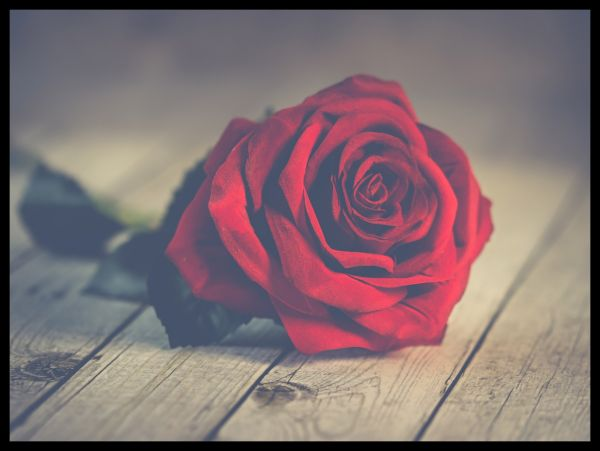 Red Rose Romantic Poster